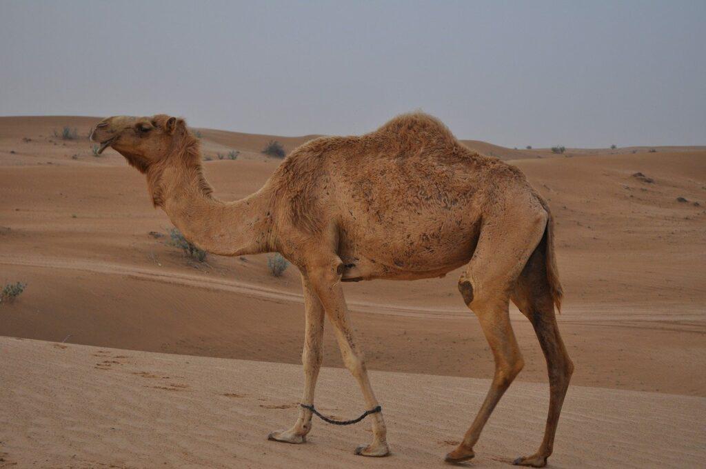 camel, desert, emirates