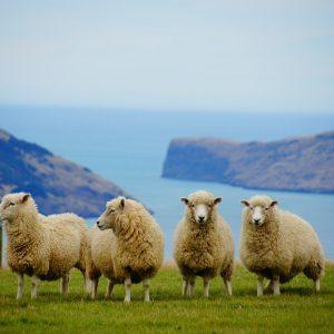 new zealand, sea, sheep